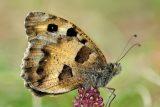 Do Českého středohoří se díky ochráncům přírody vracejí téměř vyhynulí motýli – okáči skalní