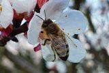 Včely alkoholičky? Výzkum jejich abstinenčních příznaků může pomoci s pochopením závislostí u lidí