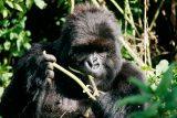 'Zavřete národní parky, rezervace i zoo.' Onemocnění COVID-19 by mohlo být pro lidoopy fatální