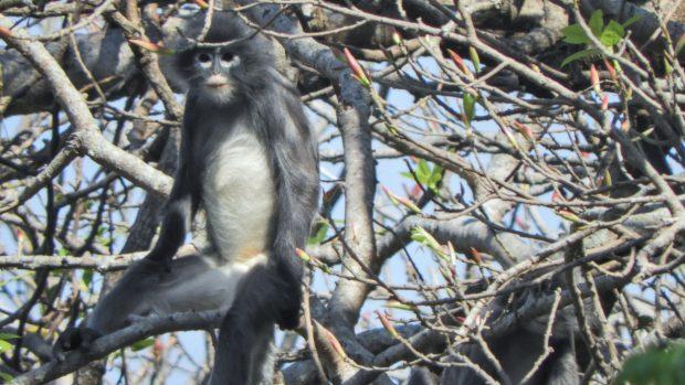 Vědci objevili v Barmě dosud neznámý druh opice. Hulman Popa je ale kriticky ohrožen