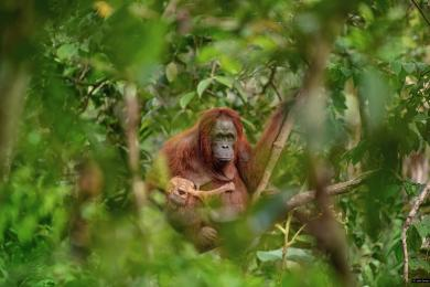 Czech Press Photo vyhrál snímek samice orangutana s umírajícím mládětem. Bodovaly i fotky s premiérem